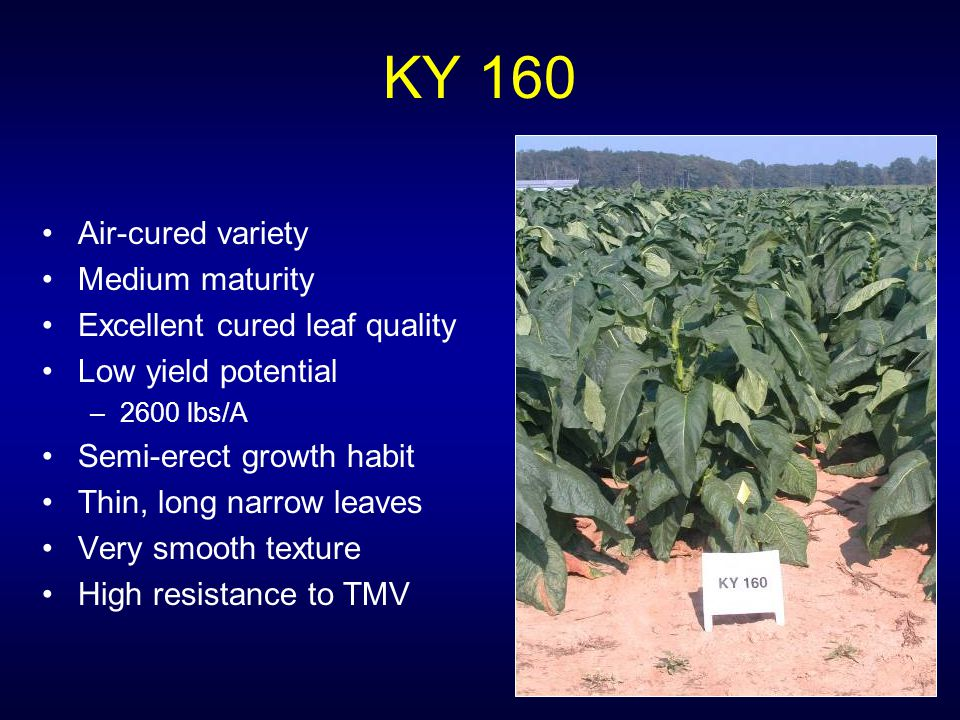 KY 160 Air-cured variety Medium maturity Excellent cured leaf quality Low yield potential –2600 lbs/A Semi-erect growth habit Thin, long narrow leaves Very smooth texture High resistance to TMV