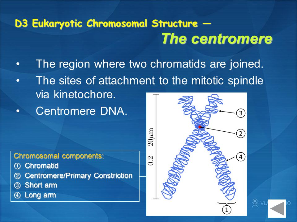 D3 Eukaryotic Chromosomal Structure — The centromere The region where two chromatids are joined. The sites of attachment to the mitotic spindle via ki