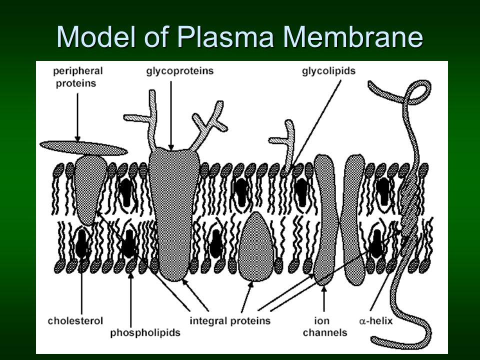 Model of Plasma Membrane