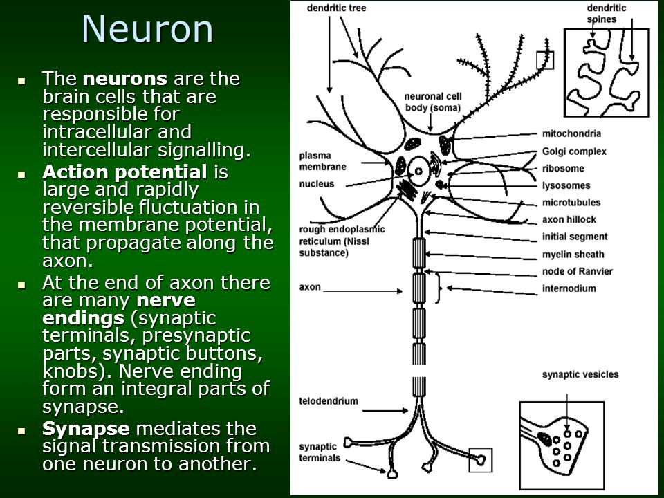 Neuron The neurons are the brain cells that are responsible for intracellular and intercellular signalling. The neurons are the brain cells that are r