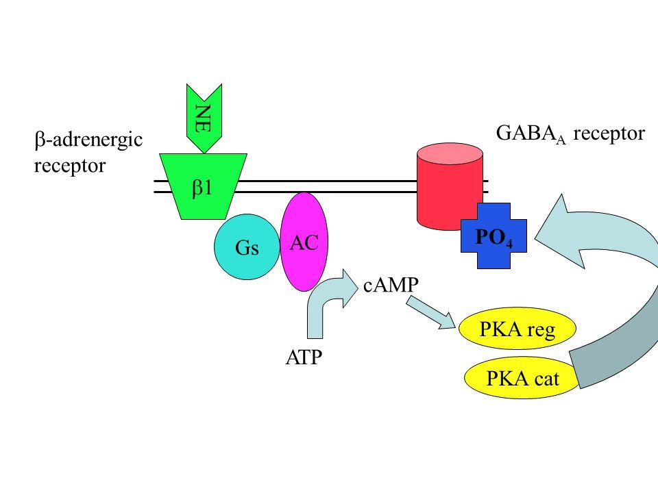 11 NE Gs AC ATP cAMP PKA reg PKA cat PO 4 GABA A receptor  -adrenergic receptor