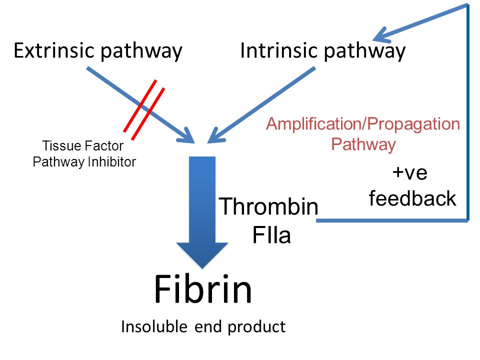 Fibrin Insoluble end product Extrinsic pathwayIntrinsic pathway Amplification/Propagation Pathway Thrombin FIIa +ve feedback Tissue Factor Pathway Inhibitor
