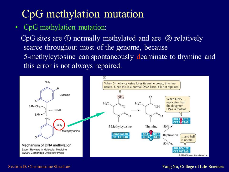 Section D: Chromosome StructureYang Xu, College of Life Sciences CpG methylation mutation CpG methylation mutation: CpG sites are ① normally methylate