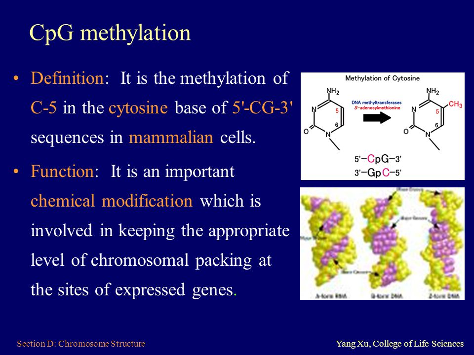 Section D: Chromosome StructureYang Xu, College of Life Sciences CpG methylation mutation CpG methylation mutation: CpG sites are ① normally methylated and are ② relatively scarce throughout most of the genome, because 5-methylcytosine can spontaneously deaminate to thymine and this error is not always repaired.