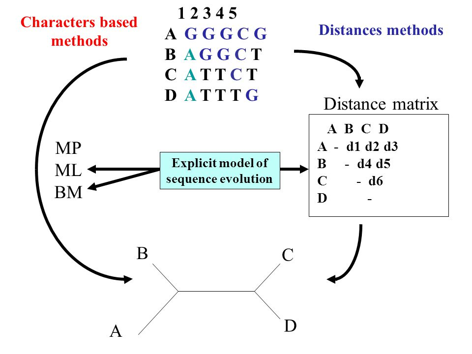 1 2 3 4 5 A G G G C G B A G G C T C A T T C T D A T T T G A B C D A - d1 d2 d3 B - d4 d5 C - d6 D - A B C D Distance matrix MP ML BM Explicit model of sequence evolution Distances methods Characters based methods