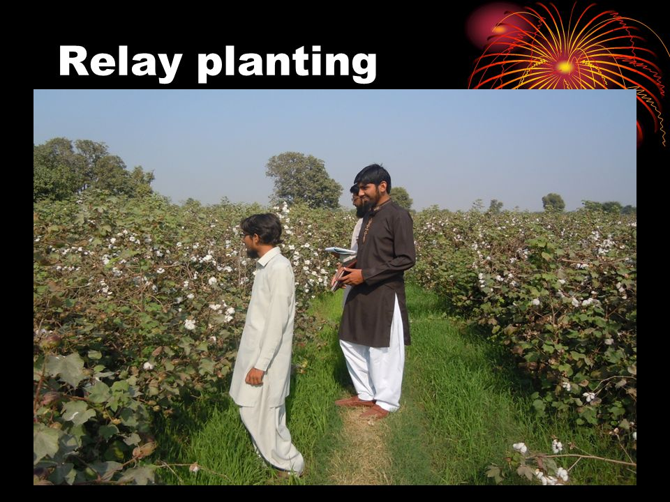 Relay planting