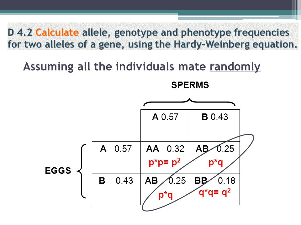 Using the calculated gene frequency to predict the EXPECTED genotypic frequencies in the NEXT generation OR to verify that the PRESENT population is i