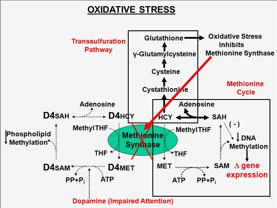 Methionine Synthase HCY MET SAH SAM DNA Methylation ATPPP+P i Adenosine MethylTHF THF Cystathionine Cysteine Glutathione γ-Glutamylcysteine Transsulfu