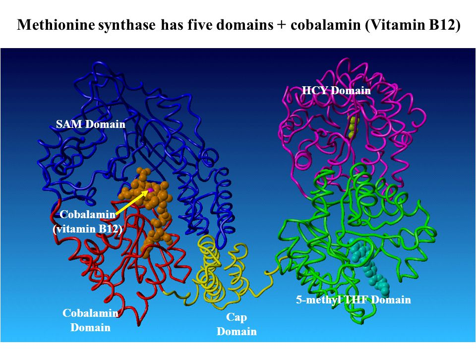 Methionine synthase has five domains + cobalamin (Vitamin B12) SAM Domain Cobalamin Domain Cap Domain 5-methyl THF Domain HCY Domain Cobalamin (vitami