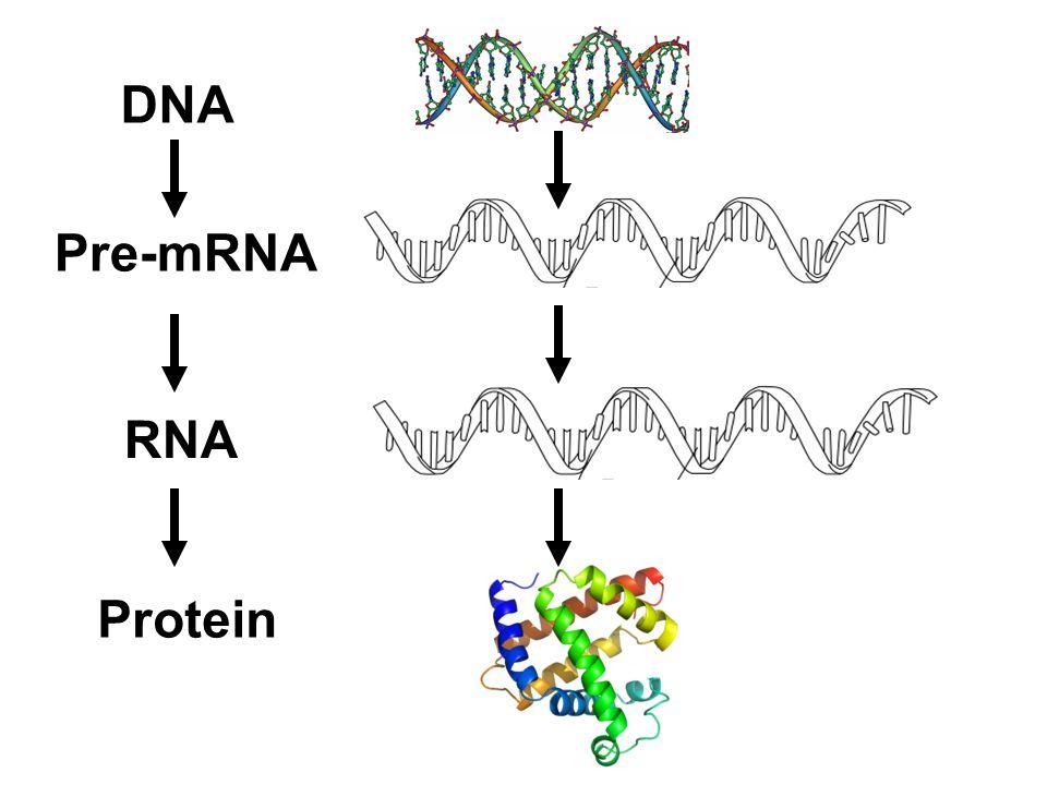 DNA RNA Pre-mRNA Protein