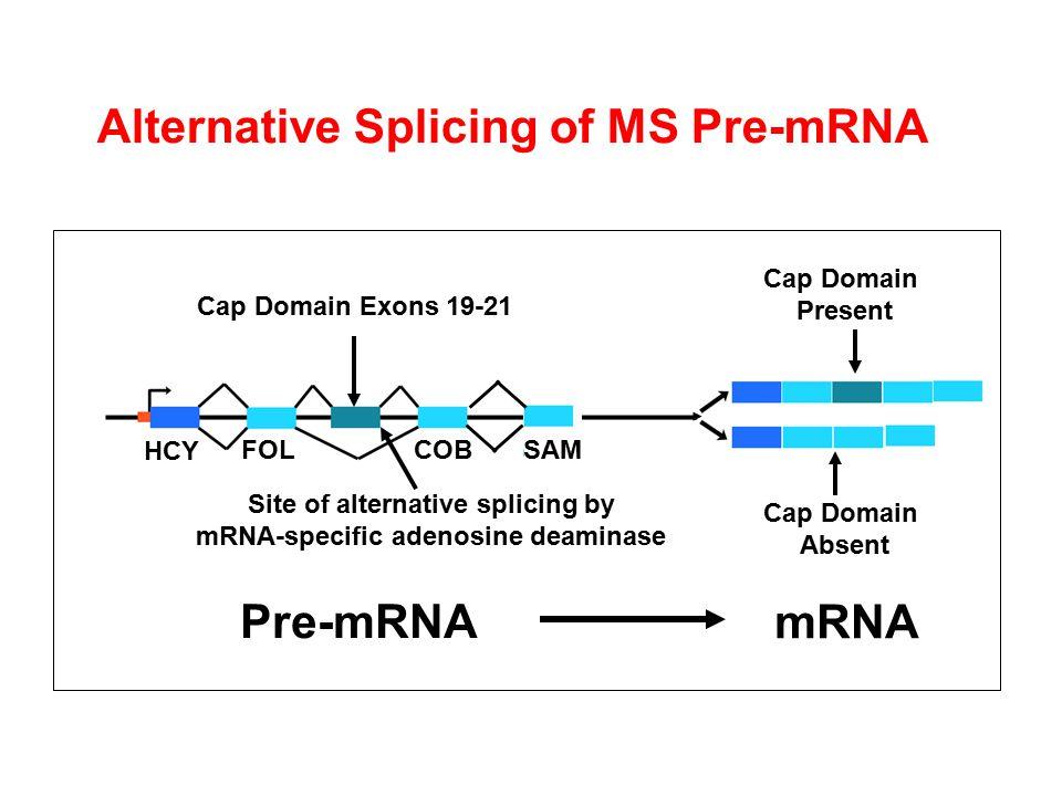 Cap Domain Exons 19-21 Site of alternative splicing by mRNA-specific adenosine deaminase Cap Domain Absent Cap Domain Present HCY FOL COB SAM Pre-mRNA