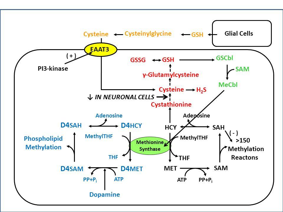 Methionine Synthase HCY MET SAH SAM >150 Methylation Reactons ATPPP+P i Adenosine MethylTHF THF Cystathionine Cysteine GSH γ-Glutamylcysteine GSCbl D4