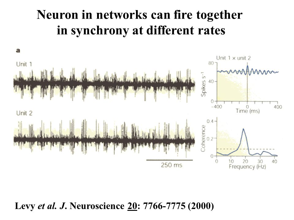 Neuron in networks can fire together in synchrony at different rates Levy et al. J. Neuroscience 20: 7766-7775 (2000)