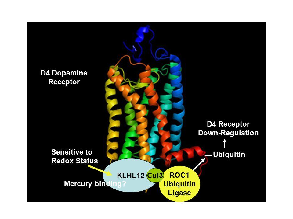 KLHL12 ROC1 Ubiquitin Ligase Cul3 D4 Dopamine Receptor Ubiquitin D4 Receptor Down-Regulation Sensitive to Redox Status Mercury binding?