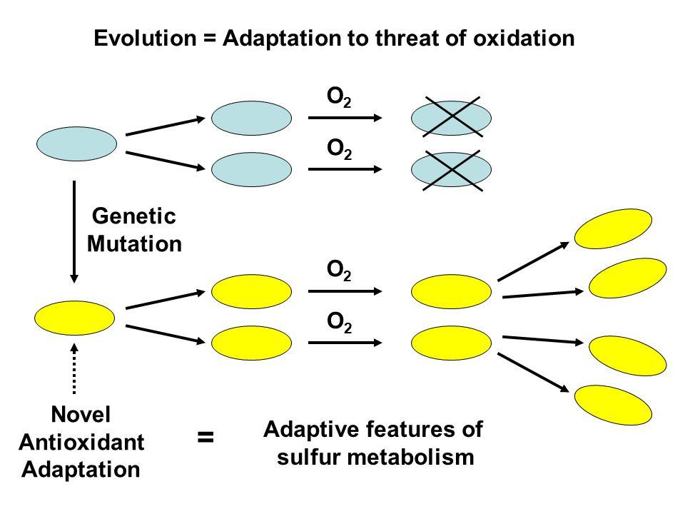O2O2 O2O2 O2O2 O2O2 Genetic Mutation Novel Antioxidant Adaptation Evolution = Adaptation to threat of oxidation Adaptive features of sulfur metabolism