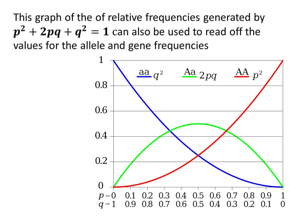 D4.3 State the assumptions made when the Hardy Weinberg equations is used Okay, so if: both allele and genotype frequencies in a population remain constant—that is, they are in equilibrium—from generation to generation What must be the underlying assumptions?