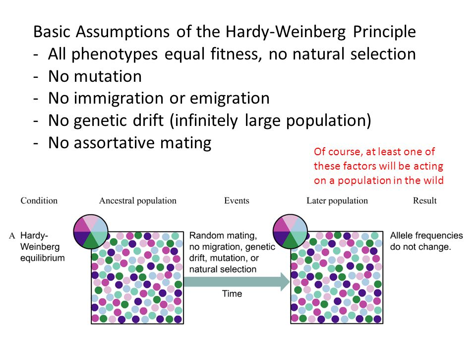 Basic Assumptions of the Hardy-Weinberg Principle -All phenotypes equal fitness, no natural selection -No mutation -No immigration or emigration -No genetic drift (infinitely large population) -No assortative mating Of course, at least one of these factors will be acting on a population in the wild