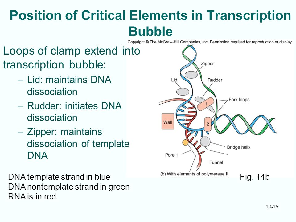 10-15 Position of Critical Elements in Transcription Bubble Loops of clamp extend into transcription bubble: –Lid: maintains DNA dissociation –Rudder: