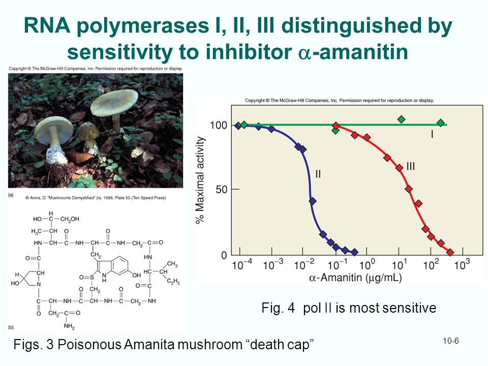 "RNA polymerases I, II, III distinguished by sensitivity to inhibitor  -amanitin 10-6 Figs. 3 Poisonous Amanita mushroom ""death cap"" Fig. 4 pol II is"