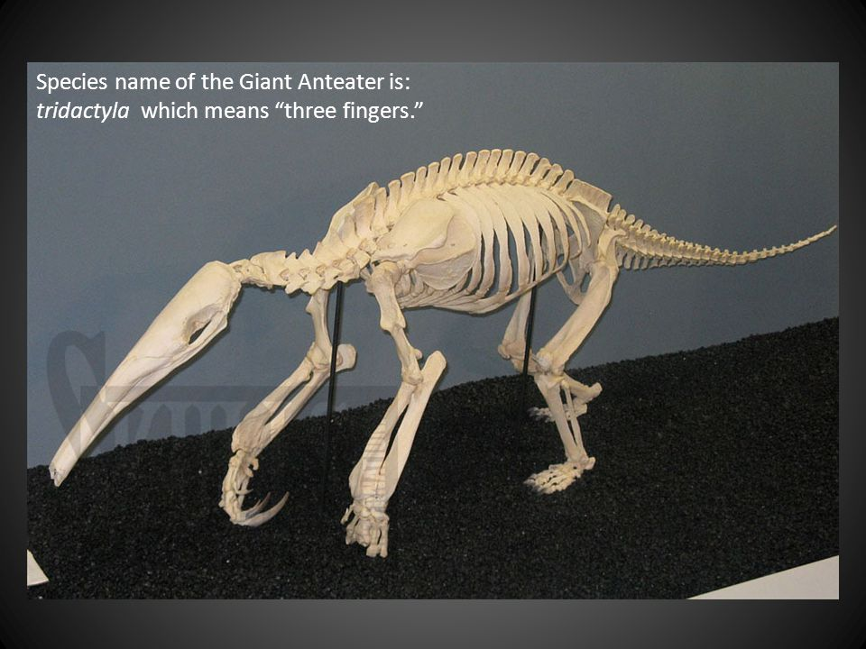 Geographic Giant Anteater Range The IUCN classification is vulnerable (lower risk).
