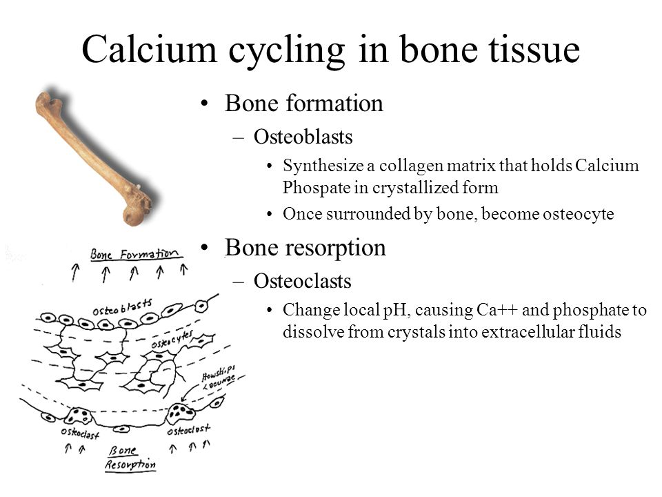 Calcium cycling in bone tissue Bone formation –Osteoblasts Synthesize a collagen matrix that holds Calcium Phospate in crystallized form Once surround