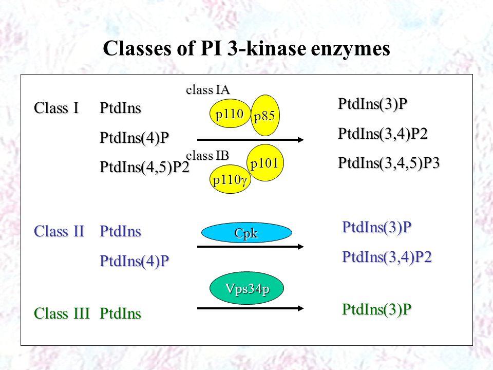 Classes of PI 3-kinase enzymes Class I Class I Class II Class II Class III Class III PtdInsPtdIns(4)PPtdIns(4,5)P2 PtdInsPtdIns(4)P PtdIns PtdIns(3)PPtdIns(3,4)P2PtdIns(3,4,5)P3 PtdIns(3)PPtdIns(3,4)P2 PtdIns(3)P p110 p85 class IB class IA p110  p101 Cpk Vps34p