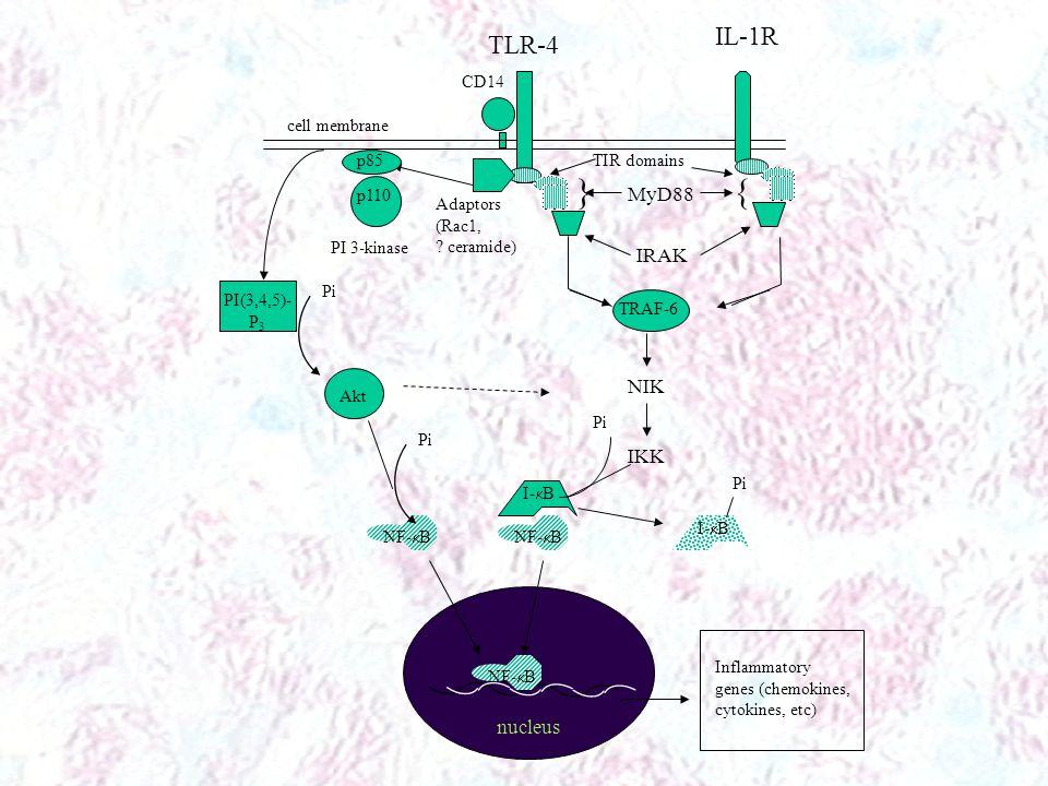 MyD88 }{ TLR-4 IL-1R IRAK TRAF-6 NIK IKK NF-  B I-  B NF-  B Pi I-  B Pi Inflammatory genes (chemokines, cytokines, etc) Adaptors (Rac1, .