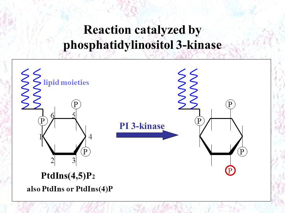 Reaction catalyzed by phosphatidylinositol 3-kinase P P P P P P P lipid moieties PtdIns(4,5)P 2 1 23 4 56 PI 3-kinase also PtdIns or PtdIns(4)P