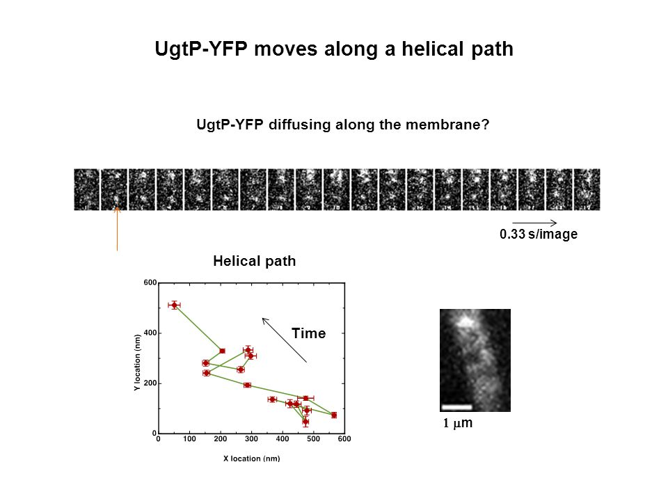 UgtP-YFP moves along a helical path UgtP-YFP diffusing along the membrane.
