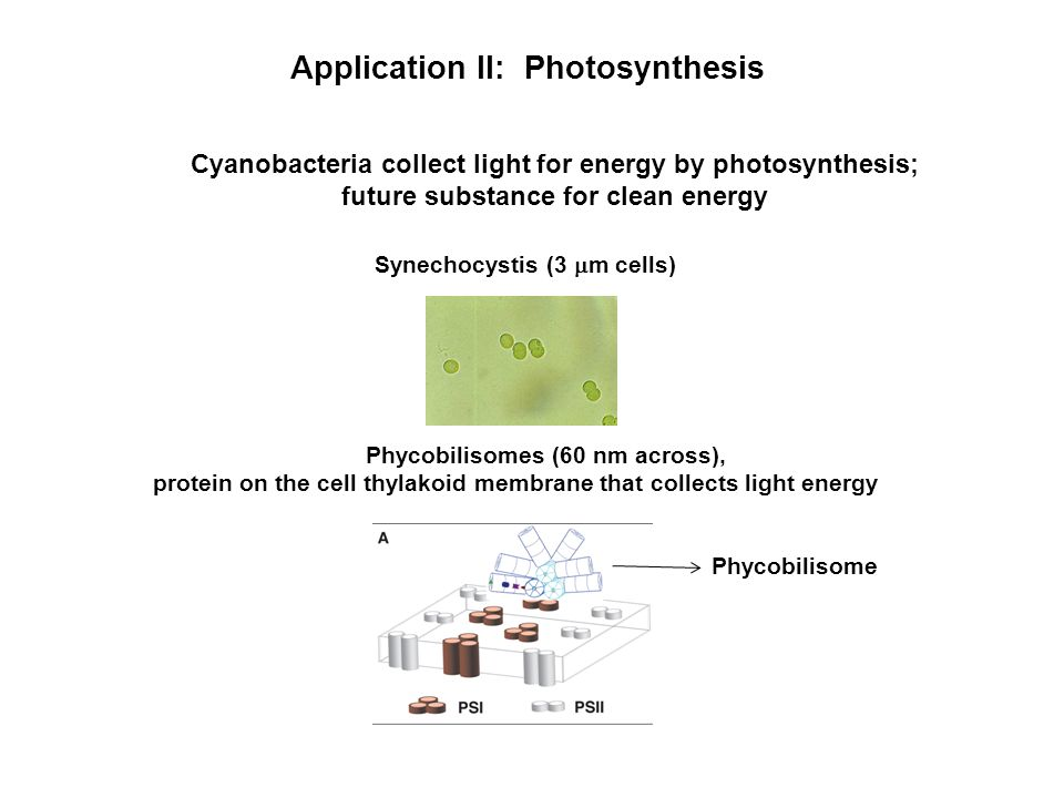 Application II: Photosynthesis Cyanobacteria collect light for energy by photosynthesis; future substance for clean energy Synechocystis (3  m cells) Phycobilisomes (60 nm across), protein on the cell thylakoid membrane that collects light energy Phycobilisome