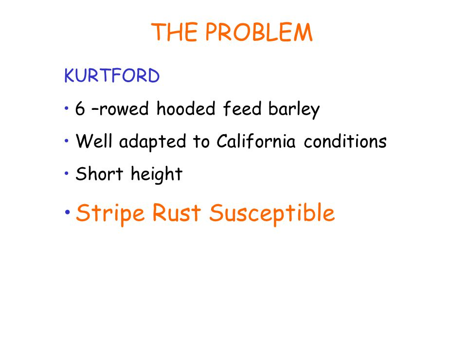 THE PROBLEM KURTFORD 6 –rowed hooded feed barley Well adapted to California conditions Short height Stripe Rust Susceptible