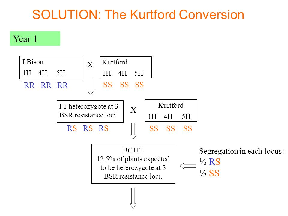 I Bison 1H 4H 5H Kurtford 1H 4H 5H X F1 heterozygote at 3 BSR resistance loci X Kurtford 1H 4H 5H BC1F1 12.5% of plants expected to be heterozygote at 3 BSR resistance loci.