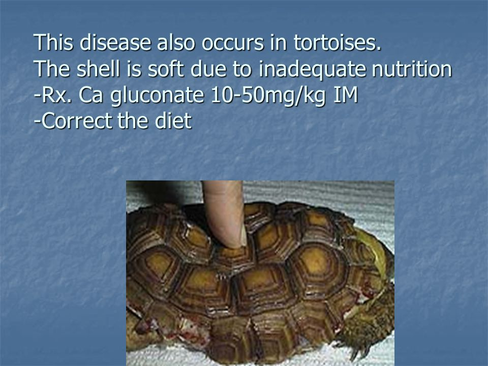 This disease also occurs in tortoises. The shell is soft due to inadequate nutrition -Rx. Ca gluconate 10-50mg/kg IM -Correct the diet