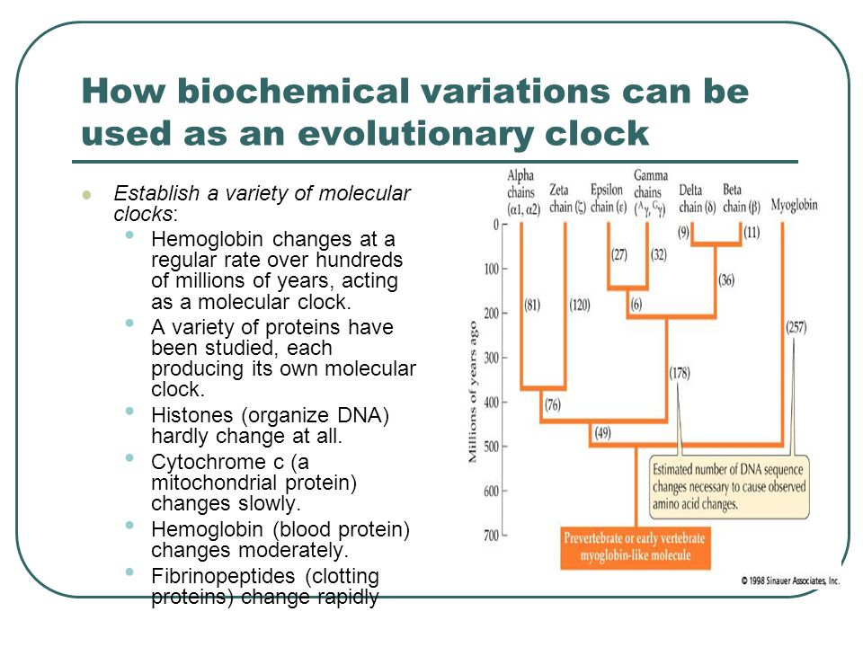 How biochemical variations can be used as an evolutionary clock Establish a variety of molecular clocks: Hemoglobin changes at a regular rate over hundreds of millions of years, acting as a molecular clock.