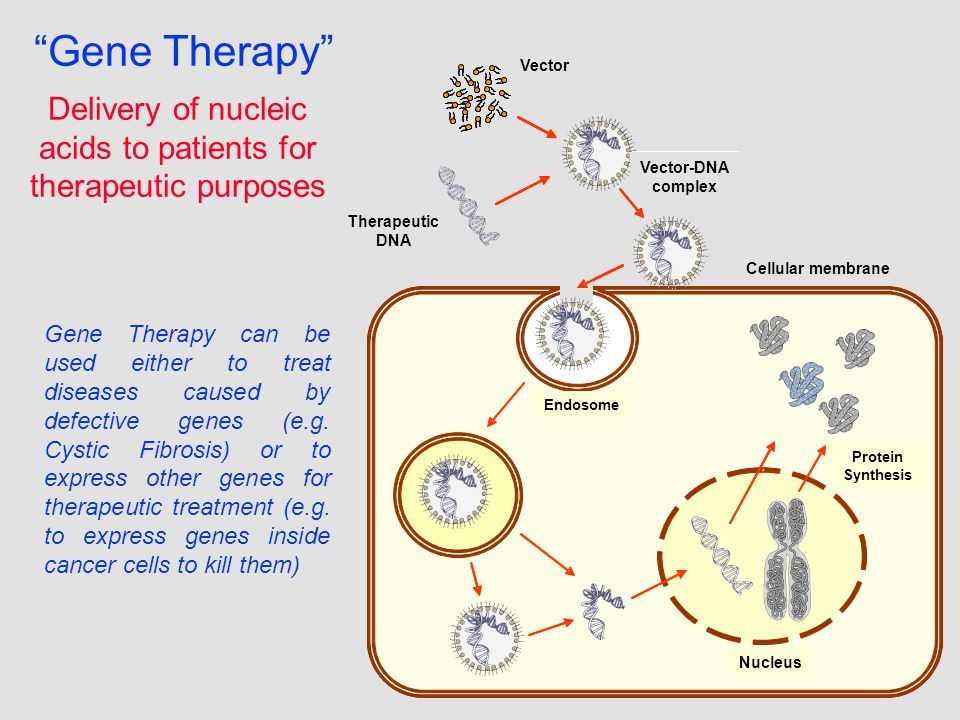 Gene Therapy Delivery of nucleic acids to patients for therapeutic purposes Vector Vector-DNA complex Endosome Protein Synthesis Nucleus Therapeutic DNA Vector Vector-DNA complex Cellular membrane Gene Therapy can be used either to treat diseases caused by defective genes (e.g.