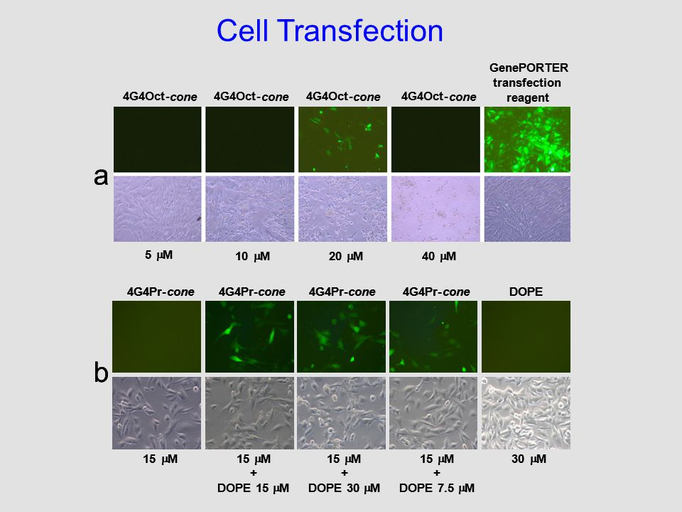 Cell Transfection 4G4Oct- cone 4G4Oct- cone 4G4Oct- cone 4G4Oct- cone GenePORTER transfection reagent 5  M 40  M20  M10  M a 4G4Oct- cone 4G4Oct- cone 4G4Oct- cone 4G4Oct- cone GenePORTER transfection reagent 5  M 40  M20  M10  M a