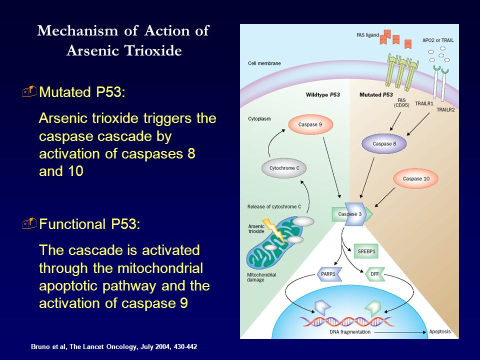 Bruno et al, The Lancet Oncology, July 2004, 430-442 Mechanism of Action of Arsenic Trioxide  Mutated P53: Arsenic trioxide triggers the caspase cascade by activation of caspases 8 and 10  Functional P53: The cascade is activated through the mitochondrial apoptotic pathway and the activation of caspase 9
