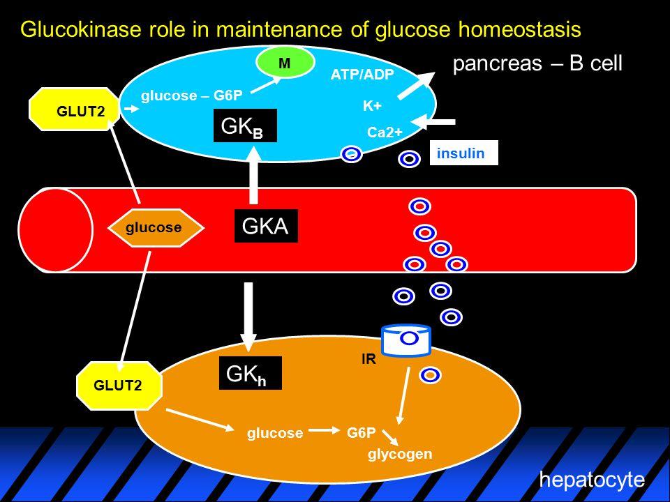 Glucokinase role in maintenance of glucose homeostasis glucose pancreas – B cell hepatocyte GKA GLUT2 GK B GK h glucose – G6P ATP/ADP K+ Ca2+ M insuli
