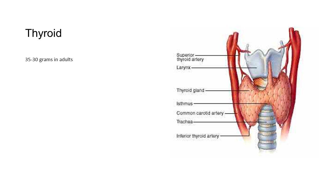 Thyroid 35-30 grams in adults