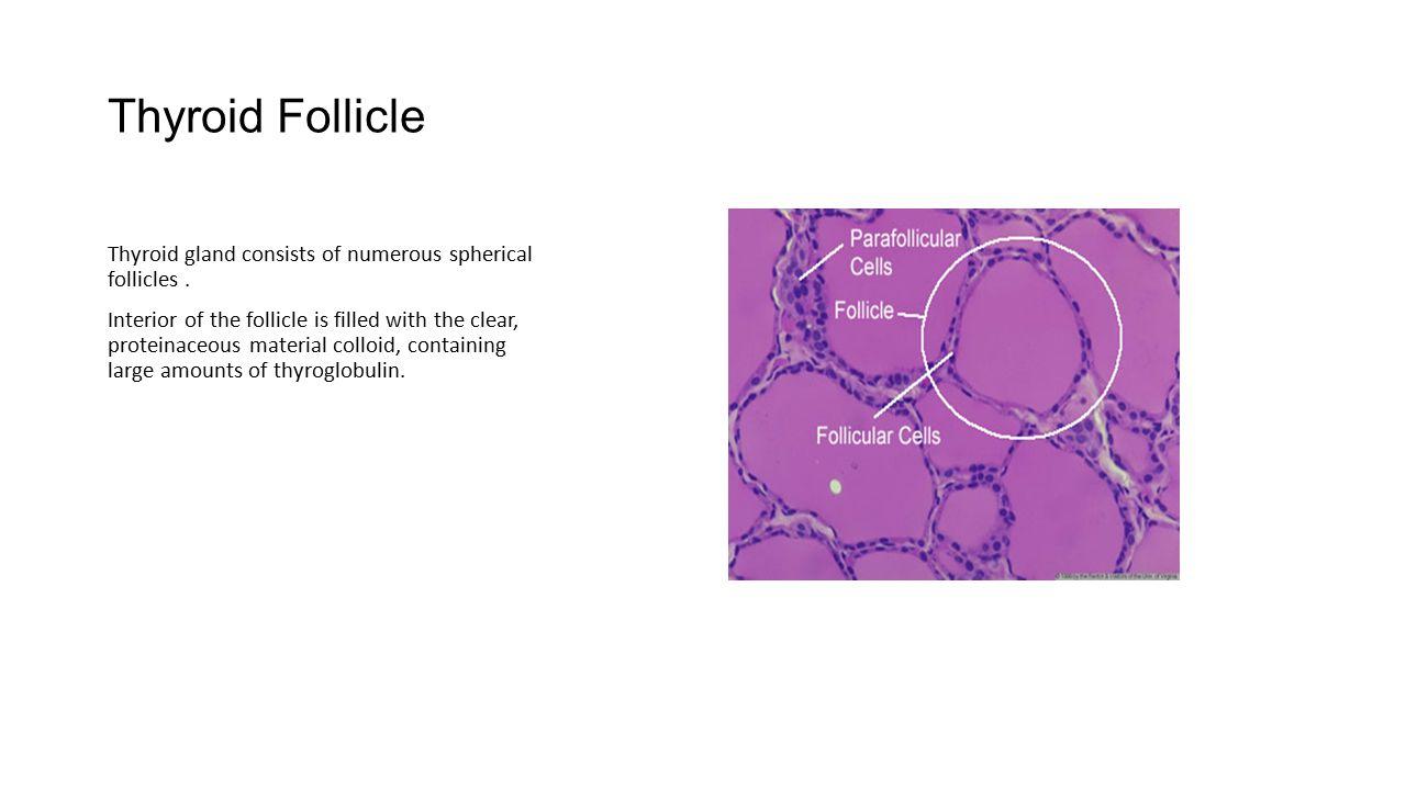 Thyroid hormone in peripheral Tissues.