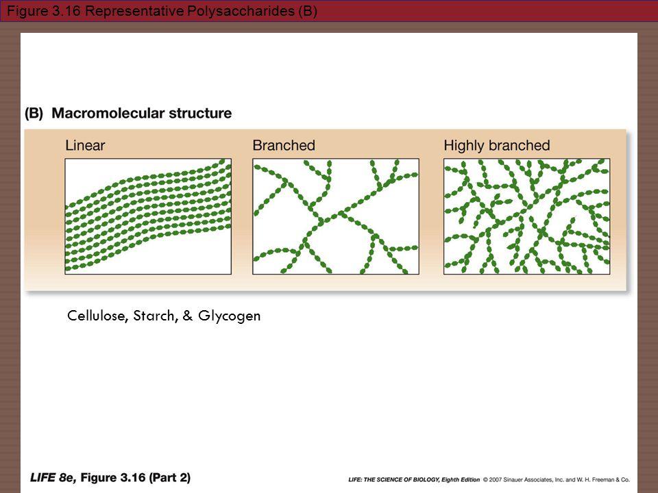 Figure 3.16 Representative Polysaccharides (B) Cellulose, Starch, & Glycogen