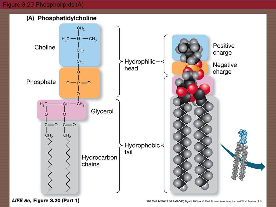 Figure 3.20 Phospholipids (A)