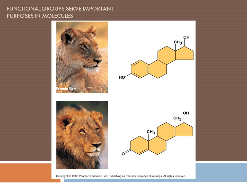 FUNCTIONAL GROUPS SERVE IMPORTANT PURPOSES IN MOLECULES Estradiol Testosterone Male lion Female lion