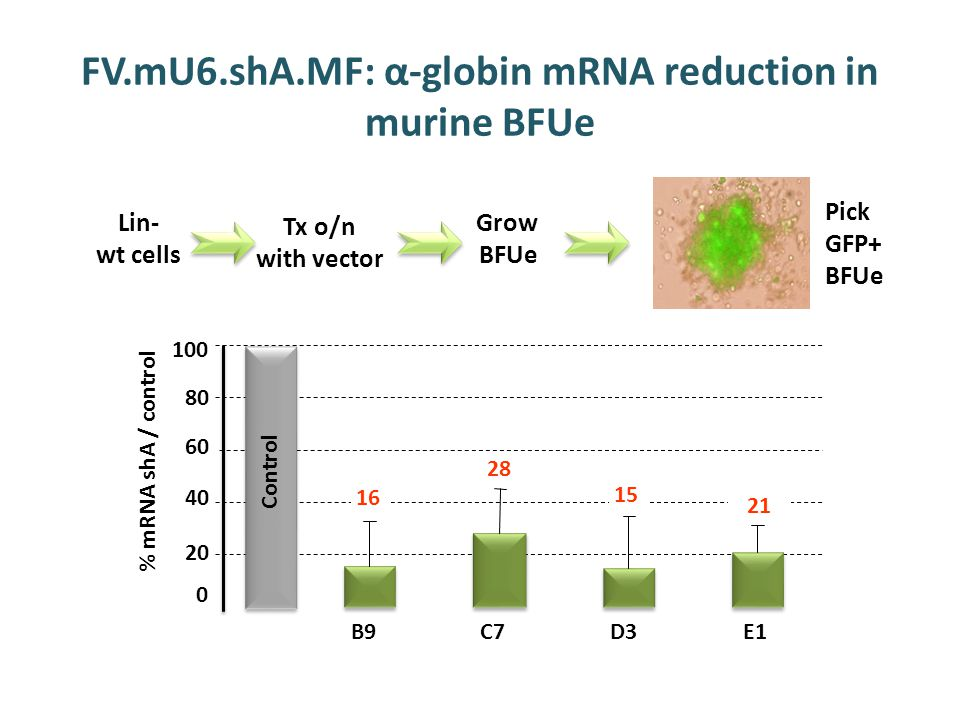 FV.mU6.shA.MF: α-globin mRNA reduction in murine BFUe % mRNA shA / control 0 2020 40 60 80 100 B9C7 D3 E1 Control 16 28 15 21 Lin- wt cells Tx o/n with vector Grow BFUe Pick GFP+ BFUe