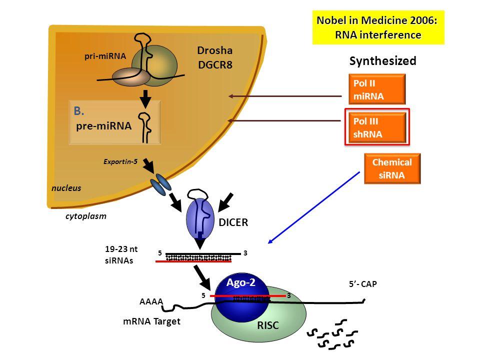 nucleus B.B. Drosha DGCR8 pre-miRNA pri-miRNA 5 3 19-23 nt siRNAs DICER Exportin-5 Synthesized Pol II miRNA Pol III shRNA Chemical siRNA RISC Ago-2 5