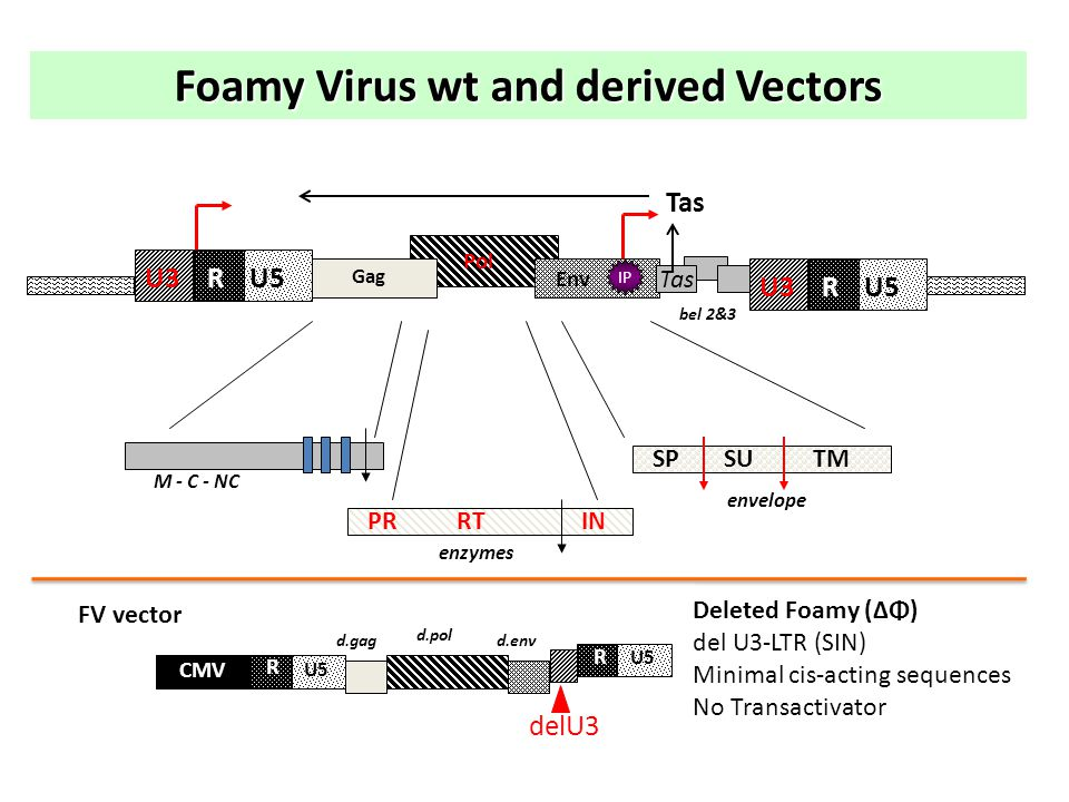 Tas Pol IP Env RU5U3U3 R U3U3 Gag bel 2&3 Tas PRRTIN enzymes SPSUTM envelope M - C - NC Foamy Virus wt and derived Vectors delU3 CMV R U5 R d.gag d.pol d.env FV vector Deleted Foamy (ΔΦ) del U3-LTR (SIN) Minimal cis-acting sequences No Transactivator