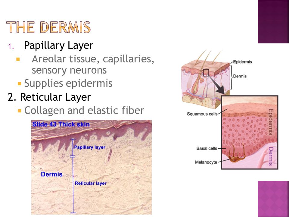 1. Papillary Layer  Areolar tissue, capillaries, sensory neurons  Supplies epidermis 2. Reticular Layer  Collagen and elastic fiber