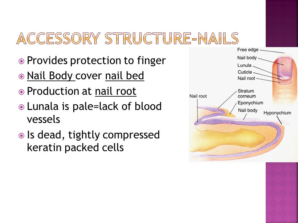  Provides protection to finger  Nail Body cover nail bed  Production at nail root  Lunala is pale=lack of blood vessels  Is dead, tightly compres