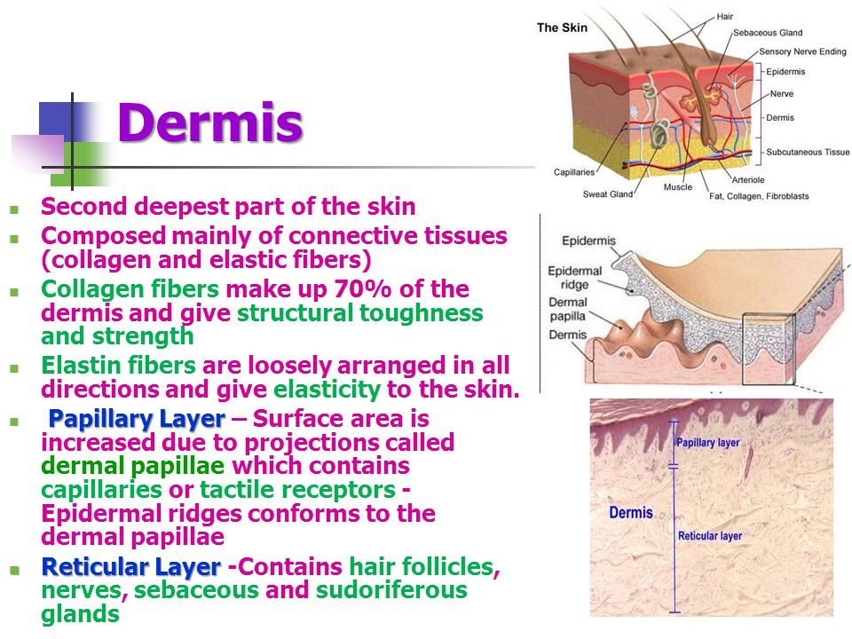 Dermis Second deepest part of the skin Composed mainly of connective tissues (collagen and elastic fibers) Collagen fibers make up 70% of the dermis and give structural toughness and strength Elastin fibers are loosely arranged in all directions and give elasticity to the skin.