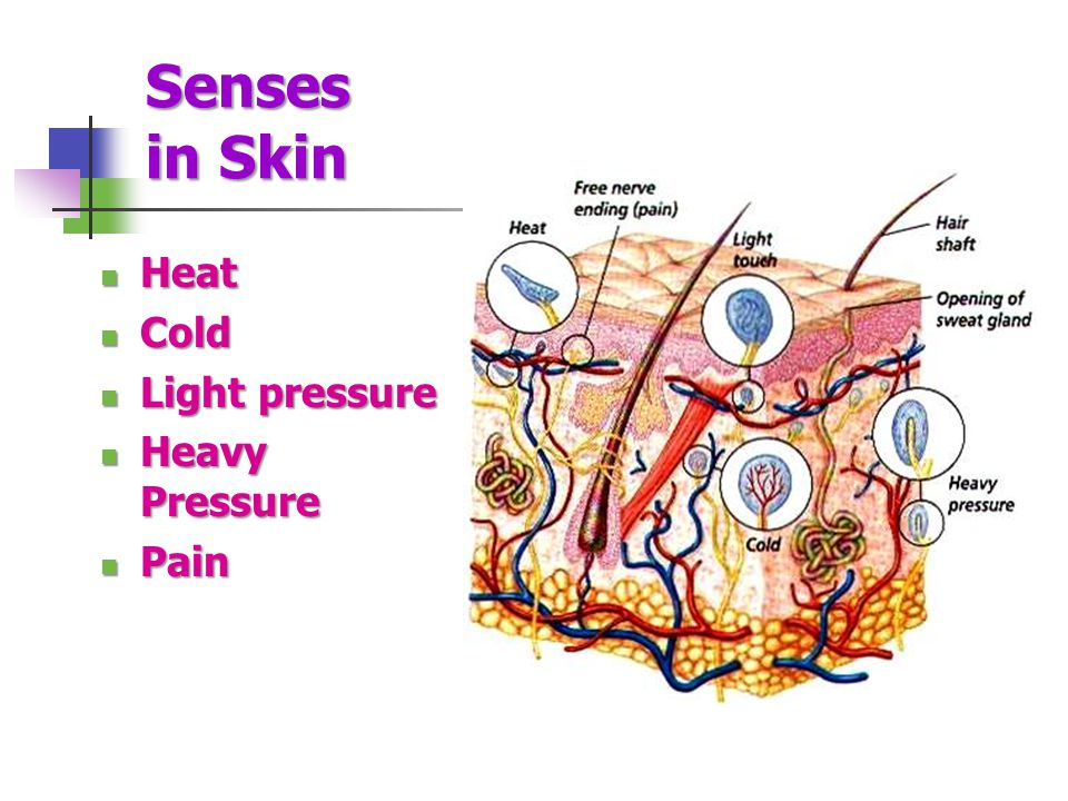 Senses in Skin Heat Heat Cold Cold Light pressure Light pressure Heavy Pressure Heavy Pressure Pain Pain